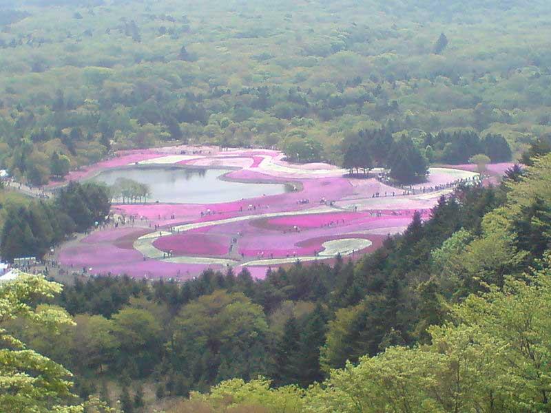 מרבדים של פרחי שיבָּזאקוּרָה בצבעי לבן, ורוד וסגול