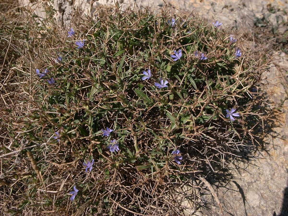 הצמח Cichorium spinosum (ביוונית: Stamnagathi) מהווה רכיב חשוב במטבח המסורתי של כרתים