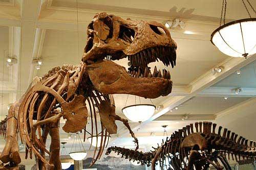 תצוגת מאובני דינוזאורים במוזיאון לטבע
