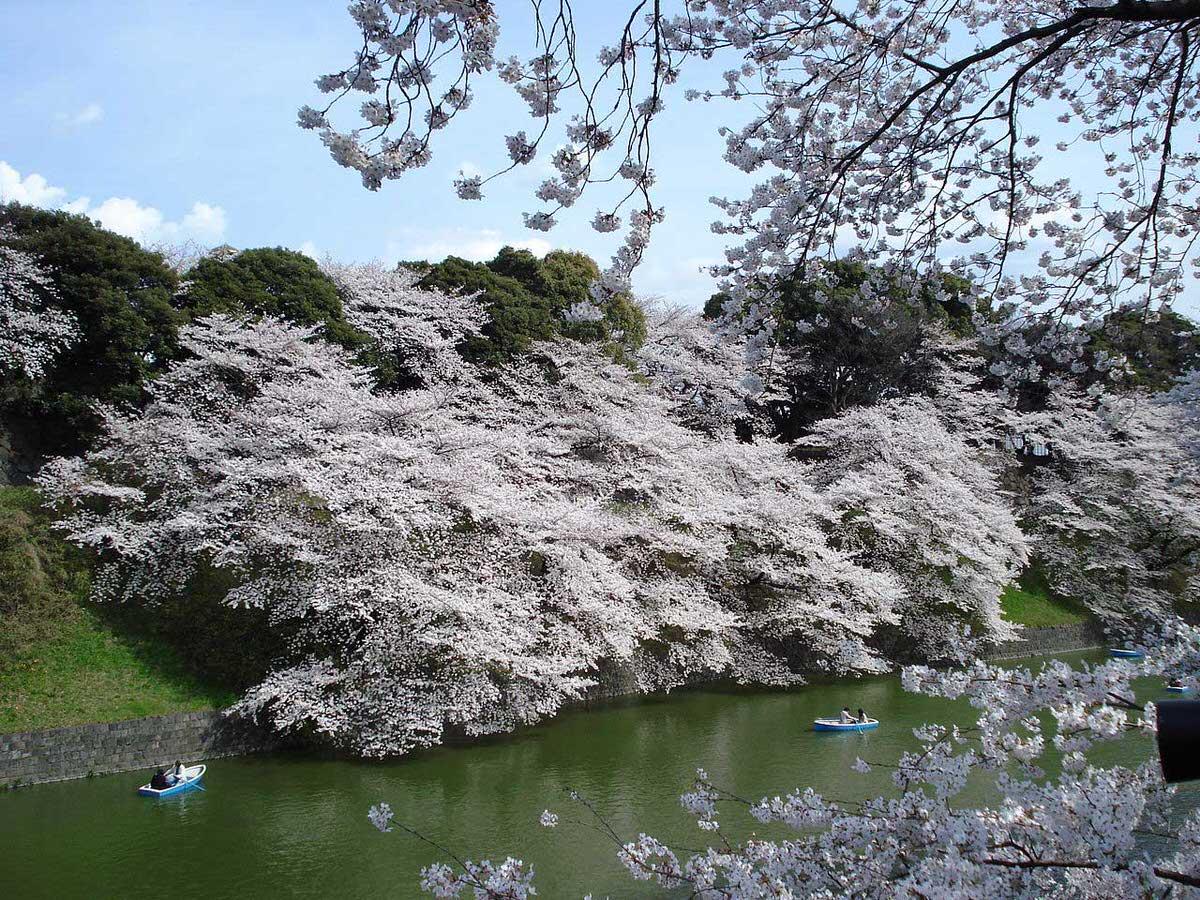 פריחת הדובדבן בארמון הקיסרי בטוקיו