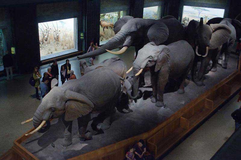 אולם אפריקה במוזיאון האמריקאי לתולדות הטבע שבניו יורק